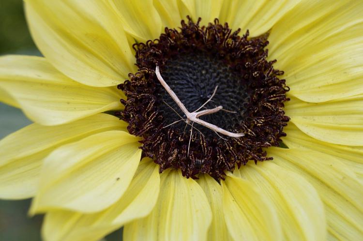 перистокрылая бабочка. ялунин