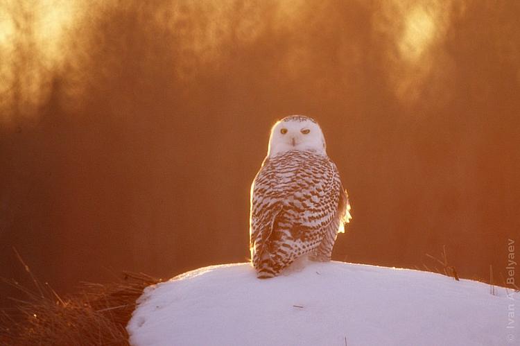 полярная  сова. беляев