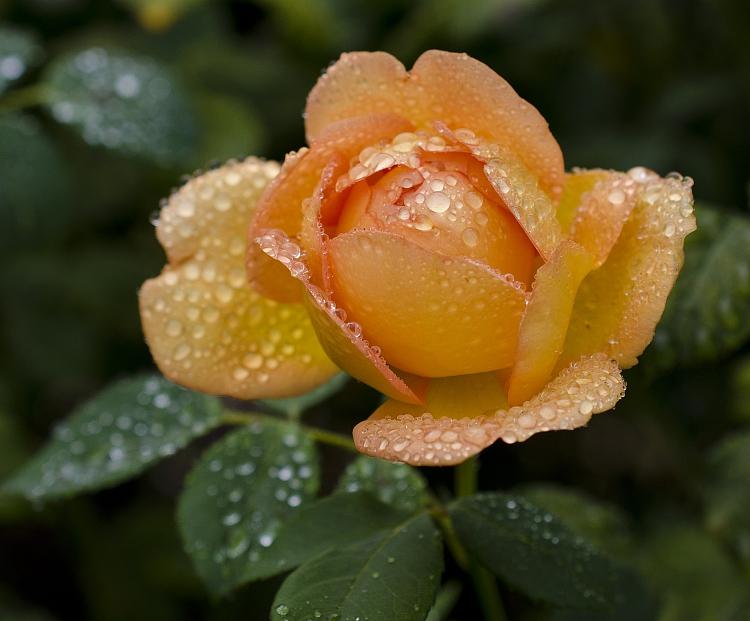 роза. косачев