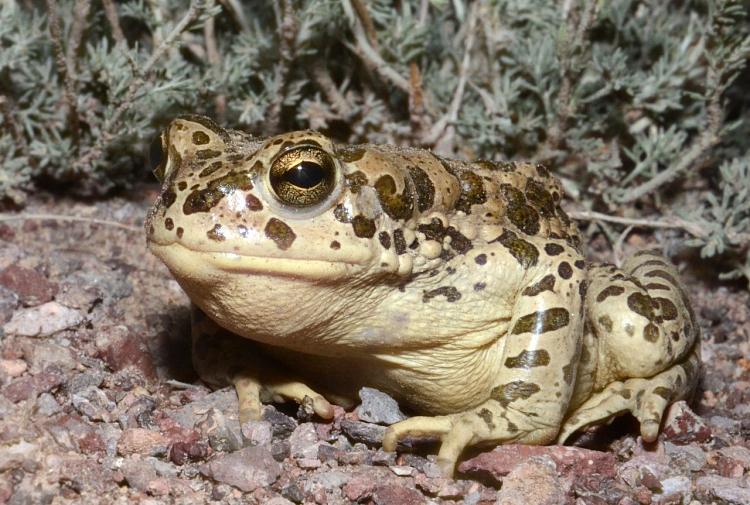 жаба. данилов