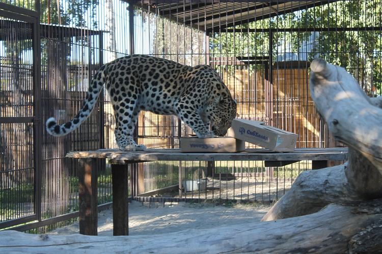 леопард. кречетов